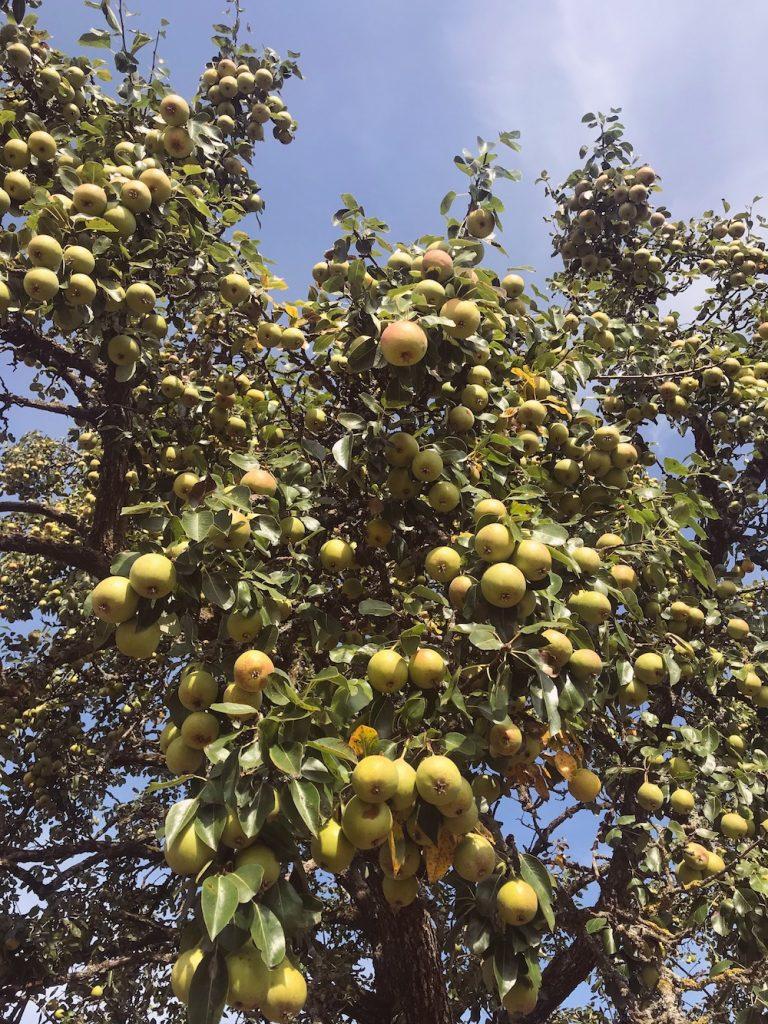 Pear tree full of pears